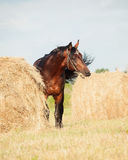 Bay sportive horse nearly with  haystack Royalty Free Stock Image