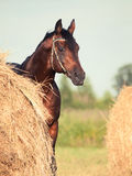 Bay sportive horse nearly with  haystack Stock Photography