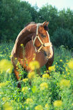 Bay  sportive  horse posingin bloosom pasture. Stock Images