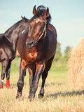 Bay sportive horse running in field with haystack Royalty Free Stock Photography