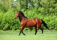 Bay sportive horse in spring field. Bay dressage horse on green bushes background stock photos