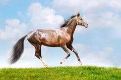 Bay stallion royalty free stock photography