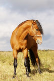 Bay stallion. In field standing Stock Images