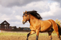 Bay stallion. On a stormy background Royalty Free Stock Image