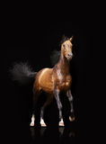 Bay stallion Royalty Free Stock Photography