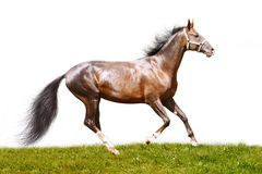 Bay stallion. On a green grass isolated Stock Photography