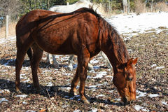 Bay Stallion. Feeding In Afternoon Sun In Winter Stock Images