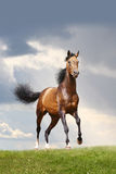Bay stallion. In a field Royalty Free Stock Photo