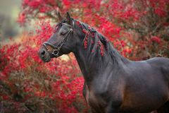 Bay horse with berrys. Bay stallion clsoe up portrait in bridle in crataegus trees royalty free stock image