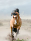 Bay stallion in dust. Bay stallion in the dust running Royalty Free Stock Photos
