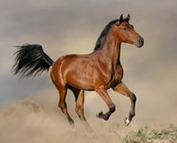 Bay stallion galloping. In the sunset royalty free stock photography