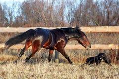 Bay stallion galloping Stock Photos