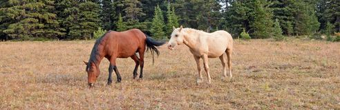 Bay Stallion grazing and Palomino Stallion wild horses in the Pryor Mountains Wild Horse Range in Montana USA. Bay Stallion grazing and Palomino Stallion wild Stock Images