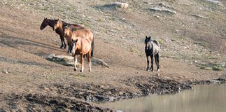 Bay Stallion with herd of wild horses at the waterhole in the Pryor Mountains Wild Horse Range in Montana USA Stock Image