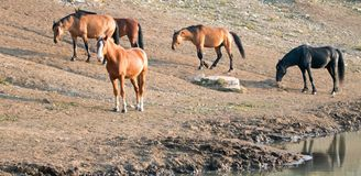 Bay Stallion with herd of wild horses at the waterhole in the Pryor Mountains Wild Horse Range in Montana USA Royalty Free Stock Photos