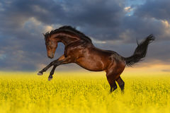 Bay stallion horse in flower meadow Stock Images