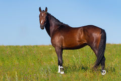 Bay stallion horse Royalty Free Stock Photos