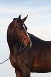 Bay stallion horse portrait Royalty Free Stock Photos