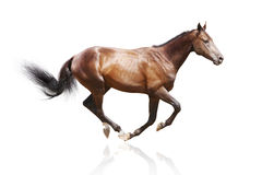 Bay stallion isolated Royalty Free Stock Images