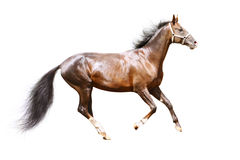 Bay stallion isolated. Purebred bay stallion isolated on white Stock Images