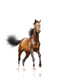 Bay stallion isolated. On white Royalty Free Stock Images