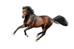 Bay stallion isolated Royalty Free Stock Photo