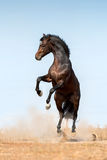Bay stallion jump Royalty Free Stock Images