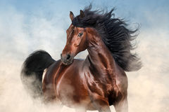 Bay stallion with long mane. Run fast in desert dust Royalty Free Stock Photography