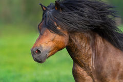 Bay stallion with long mane. Portrait in motion close up Stock Images