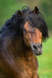 Bay stallion with long mane. Portrait in motion close up Royalty Free Stock Images
