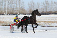 Bay stallion Oryol trotter Royalty Free Stock Image
