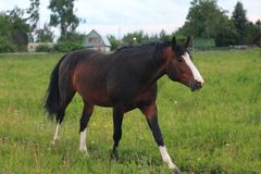 Bay stallion on a pasture Stock Photos