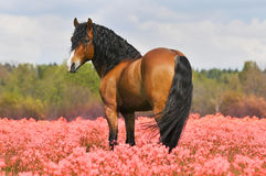 Bay stallion on the pink field. Flowers Stock Images