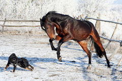 Bay stallion playing with a black dog. Young purebred, thoroughbred horse, beautiful horse, bloodstock, graceful animal, noble animal, ungulate, herbivore, bay Stock Photo