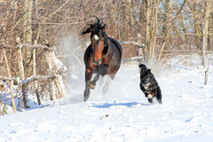 Bay stallion playing with a black dog. Young purebred, thoroughbred horse, beautiful horse, bloodstock, graceful animal, noble animal, ungulate, herbivore, bay Stock Images