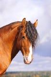 Bay stallion portrait. On sky Stock Images