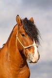 Bay stallion portrait. On sky background Stock Image
