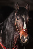Bay stallion portrait  on black. Stock Image