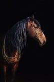 Bay stallion portrait  on black. Royalty Free Stock Image
