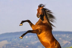 Bay stallion rearing up Royalty Free Stock Images