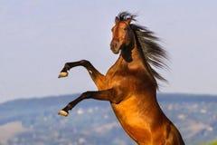 Bay stallion rearing up. Bay stallion with long mane rearing up royalty free stock images