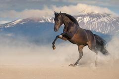 Bay stallion rearing up. With mountain landscape behind stock photography