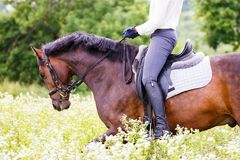 Bay stallion with rider at chamomile field Royalty Free Stock Photography