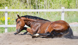 Bay stallion rolls in sand. On manege Royalty Free Stock Images