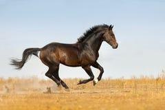 Bay stallion run stock image