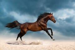 Bay stallion run Stock Photos