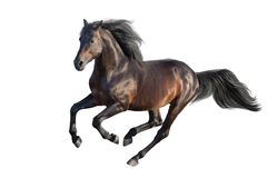 Bay stallion isolated. Bay stallion run gallop isolated on white royalty free stock image
