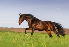 Bay stallion run gallop. On spring green pasture Stock Image