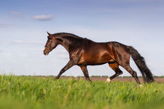 Bay stallion run gallop. On spring green pasture Royalty Free Stock Photos
