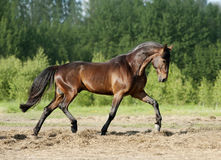 Bay stallion running Royalty Free Stock Images